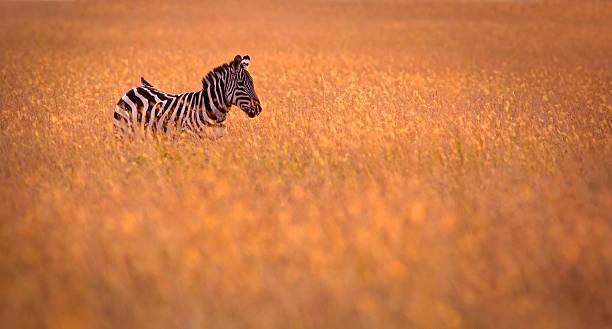 zebra in the grass - single pampas grass bildbanksfoton och bilder