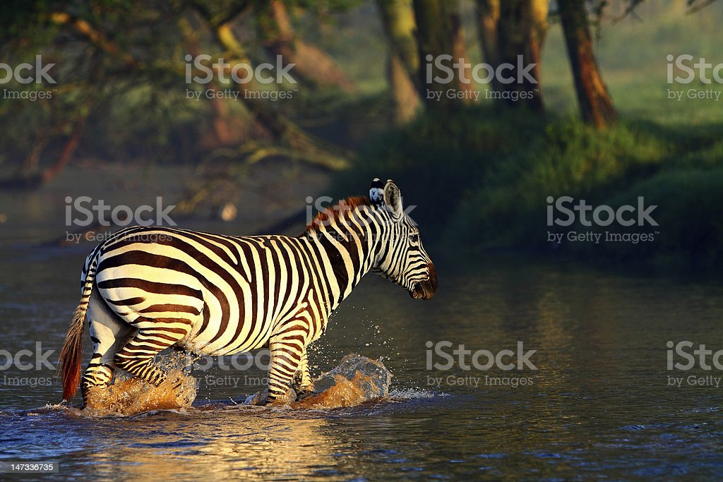 Zebra in the Lake Nakuru National Park, Kenya royalty-free stock photo