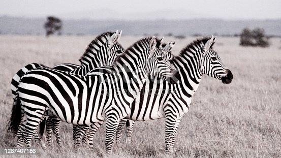 Zebra on the Maasai Mara Kenya East Africa