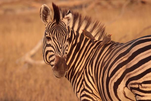 Zebra in the Okavango Delta, Botswana, Africa stock photo