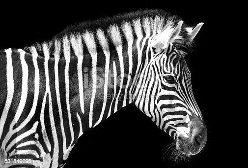istock Zebra in the park 531849298