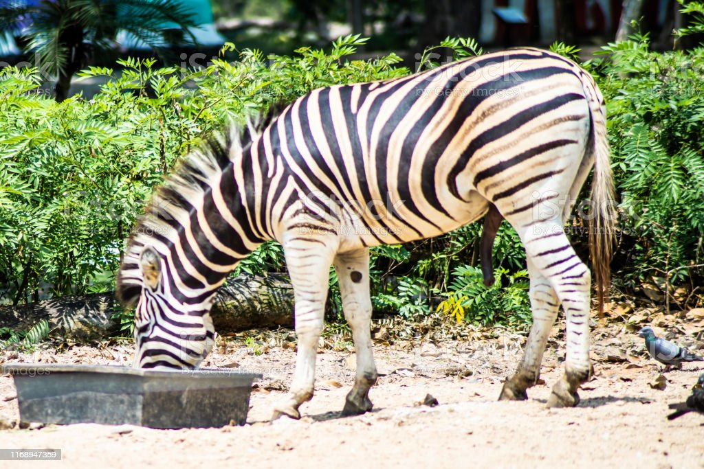 Zebra in the zoo. In the park in nature. Zoo animals concept