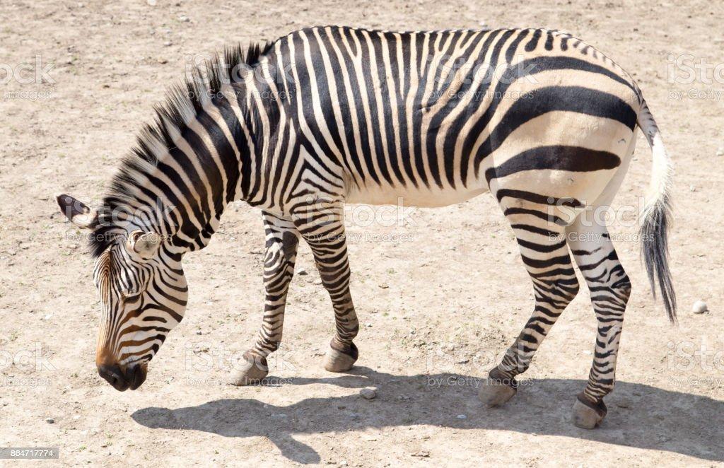 zebra in the zoo stock photo