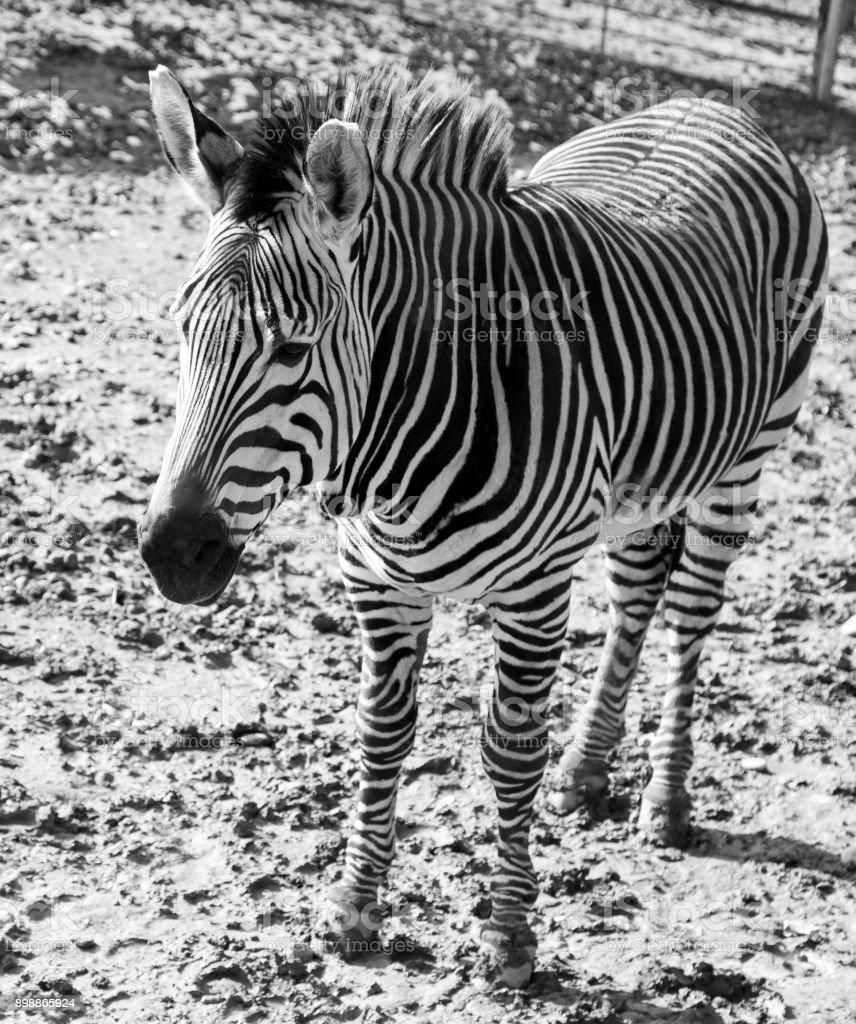 zebra in zoo stock photo