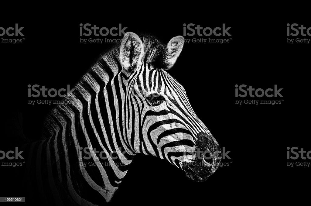 Zebra Isolated - BW stock photo