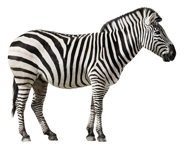 zebra isolated on a white background - zebra stock photos and pictures