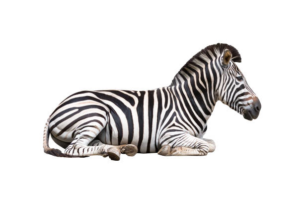 zebra isolated on white background - zebra stock photos and pictures