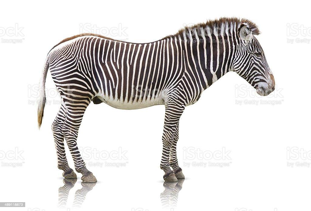 Zebra isolated royalty-free stock photo
