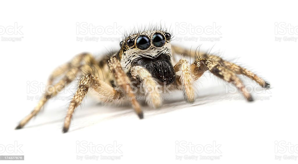 Zebra Jumping Spider - Salticus scenicus royalty-free stock photo