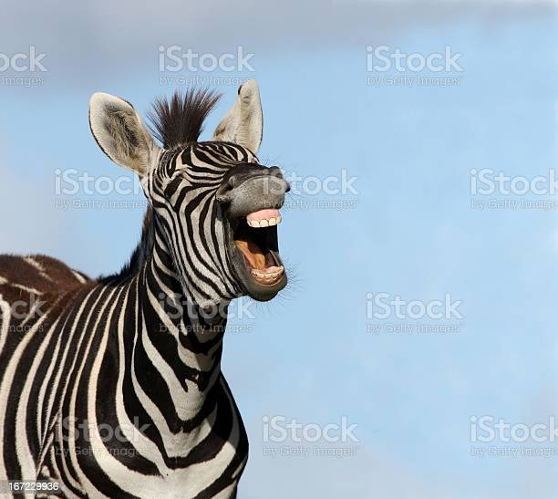 Zebra laugh picture id167229936?b=1&k=6&m=167229936&s=612x612&h=ctnsudy a5sokvea6wtdv7w64cwapkjd4dl5uuitqbc=
