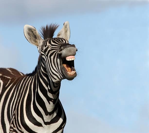 zebra laugh - zebra stock photos and pictures
