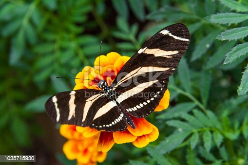 Close-up of a beautiful Zebra Longwing a tropical butterfly with a warm soft-focus color background september 10, 2018