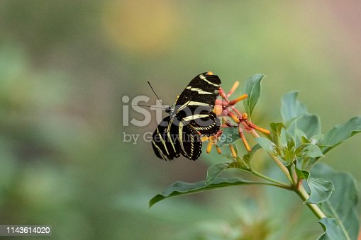 Zebra longwing butterfly, Heliconius charitonius, in a botanical garden in spring
