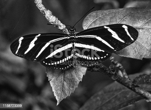 Zebra longwing, the Florida state butterfly, is resting with its elongated striped open wings on a leaf in black and white.