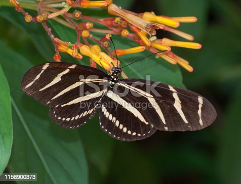 Zebra longwing, the Florida state butterfly, has gracefully open black and pale yellow-white striped wings as it rests on the reddish-orange flowers of the firebush tree against green leaves.