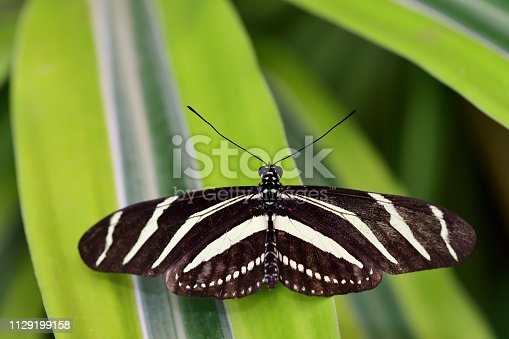 Close up of a zebra longwing butterfly (heliconius charithonia)