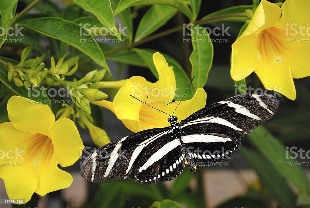Zebra Longwing butterfly royalty-free stock photo