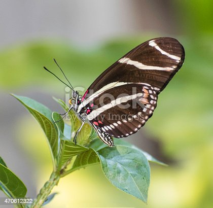 Zebra longwing butterfly with brownish-black and white stripes and red and yellow markings on a green plant against a blurred green and grey background