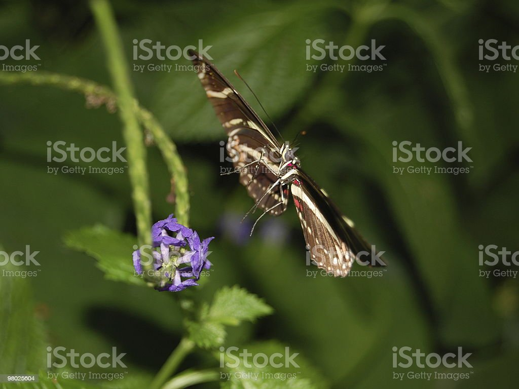 Zebra longwing Butterfly royalty-free stock photo