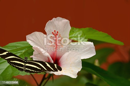 Zebra longwing butterfly(Heliconius charitonia) infront of a china rose flower head.