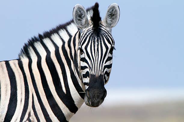 zebra looking at camera, etosha national park, namibia - zebra stock photos and pictures