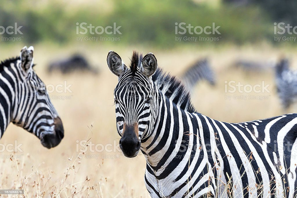 Zebra - looking at camera royalty-free stock photo