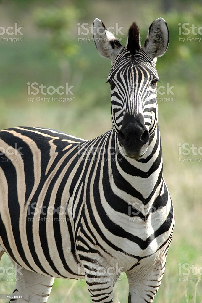 Zebra looking at camera stock photo