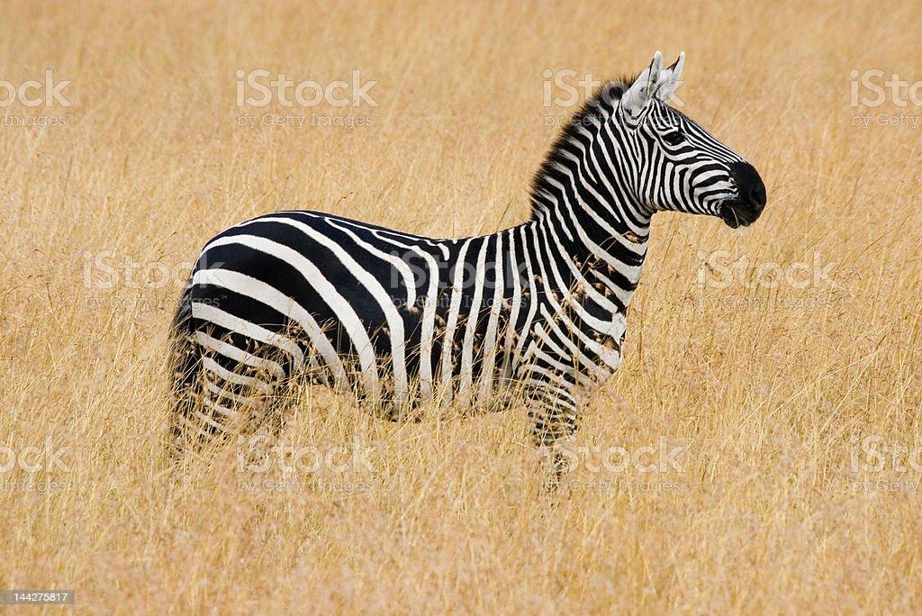 Zebra looking right royalty-free stock photo