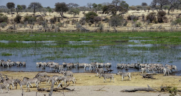Zebra migration at Makgadikgadi Pans National Park, Botswana, Africa. stock photo