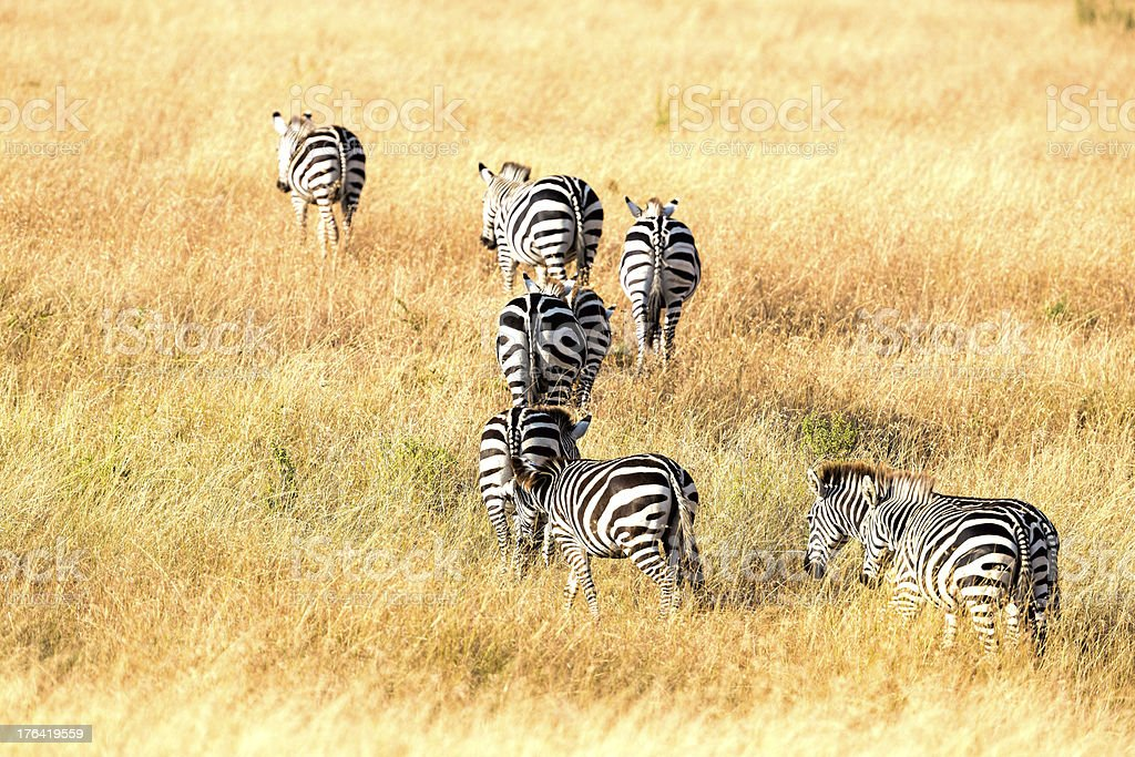 Zebra - Migration royalty-free stock photo