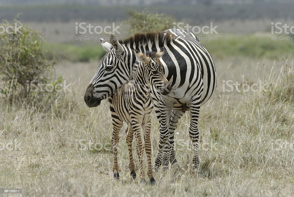 Zebra mother and baby royalty-free stock photo