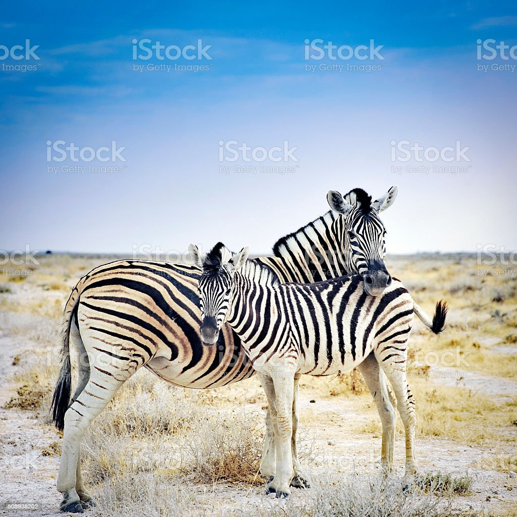 Zebra mother and her foal in Etosha National Park,Namibia stock photo