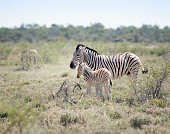 Rare shot of a Zebra Mother with her new born Foal, Etosha, Namibia. Nikon D850. Converted from RAW.