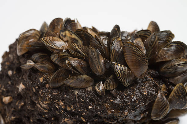 zebra mussel freshwater invasive species - introduced species stock pictures, royalty-free photos & images