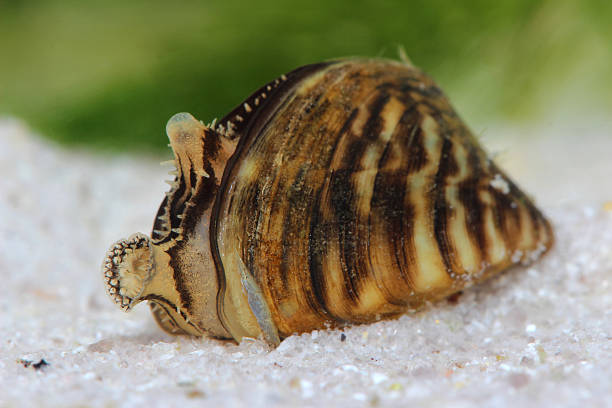 zebra mussel (dreissena polymorpha) in pond - introduced species stock pictures, royalty-free photos & images