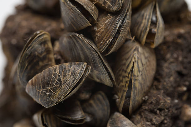 zebra mussel - introduced species stock pictures, royalty-free photos & images