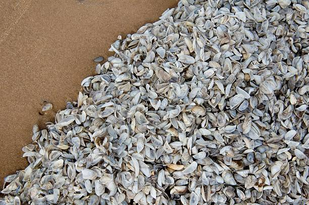 zebra mussels on lake michigan beach - introduced species stock pictures, royalty-free photos & images