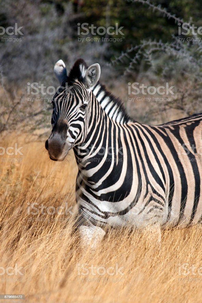 Zebra (Equus quagga) - Namibia stock photo