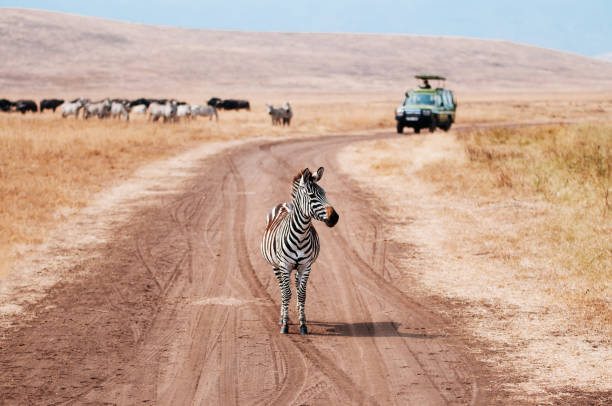 Zebra on dirt road and Safari offroad car in golden grass field in Ngorongoro consevation area, Serengeti Savanna Zebra on dirt road and Safari offroad car in golden grass field in Ngorongoro consevation area, Serengeti Savanna forest in Tanzania - African safari wildlife watching trip ngorongoro conservation area stock pictures, royalty-free photos & images