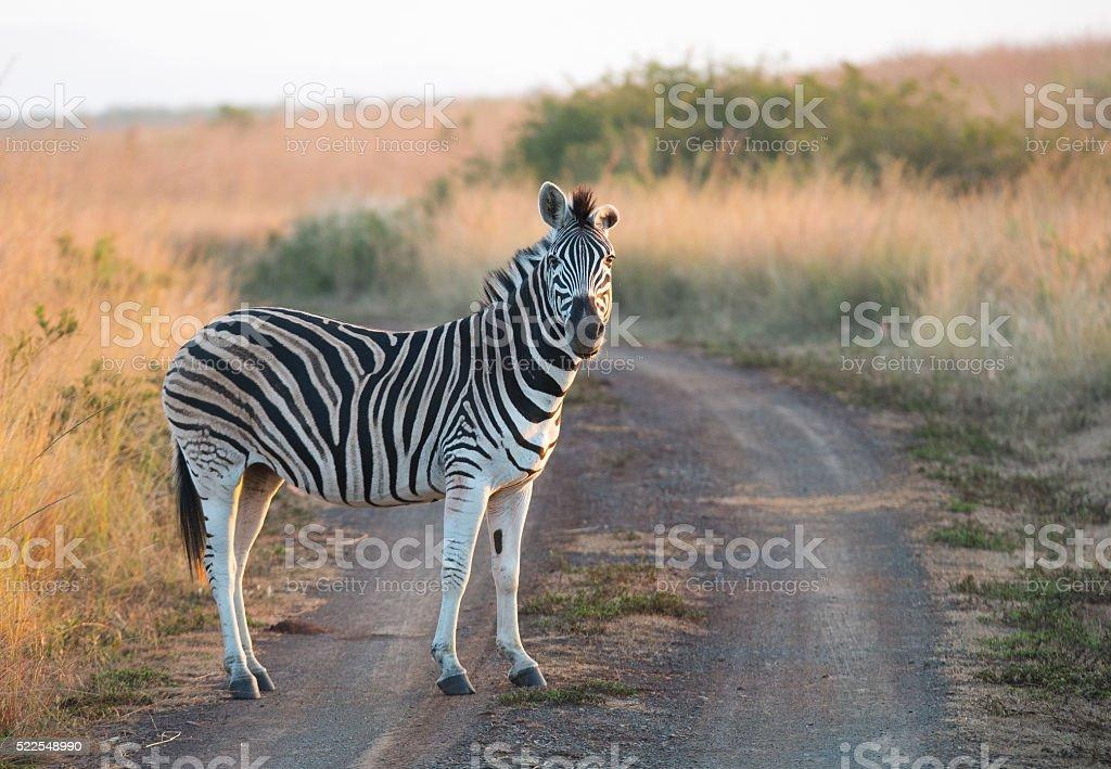 Zebra auf der Straße – Foto