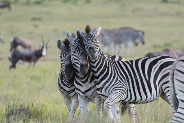 Zebra Group of 3 Zebra. animal family stock pictures, royalty-free photos & images
