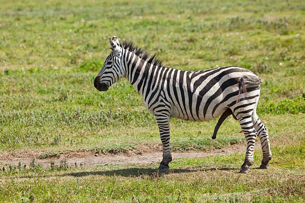 zebra - tierpenis stock-fotos und bilder