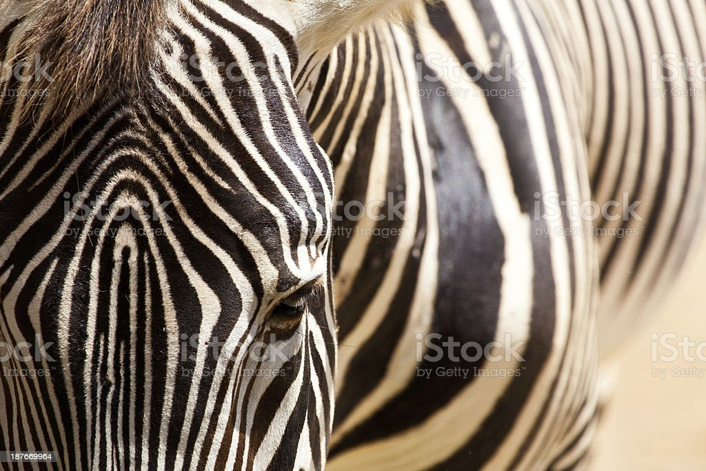zebra royalty-free stock photo
