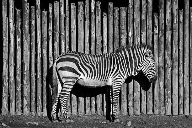 Zebra – Foto