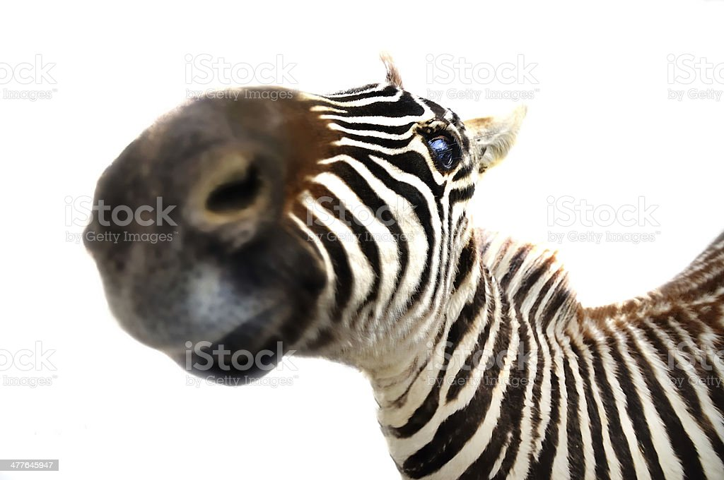 zebra, royalty-free stock photo
