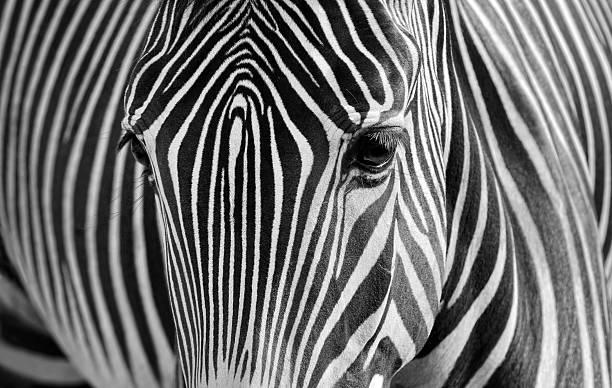 zebra - padrões zebra imagens e fotografias de stock