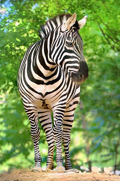 zebra, - padrões zebra imagens e fotografias de stock