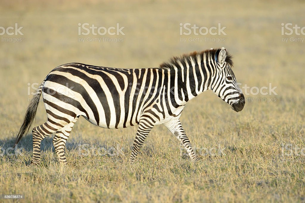 Zebra (Equus quagga) royalty-free stock photo