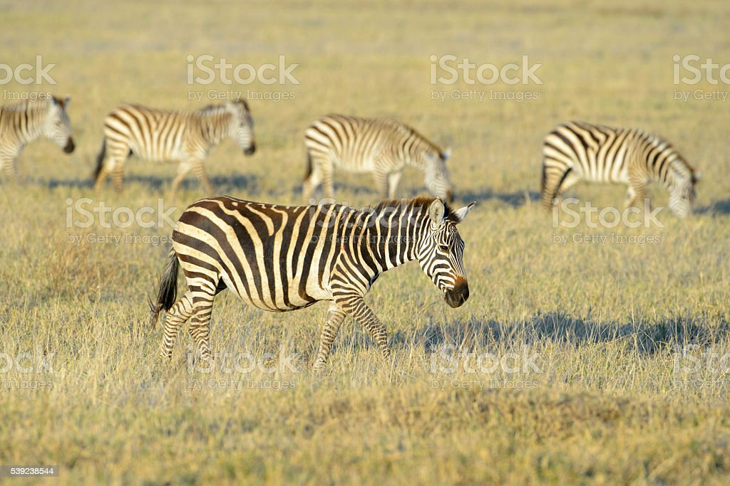Zebra (Equus quagga) royalty-free stock photo