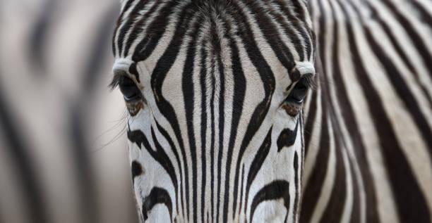 Zebra picture id669752204?b=1&k=6&m=669752204&s=612x612&w=0&h=r6esyv acuhsv8vj8lbclme0no5p acfkyq7g42sjgo=